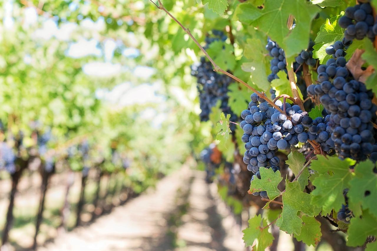 Otvorene prijave za Kaštelansku vinarsku škole