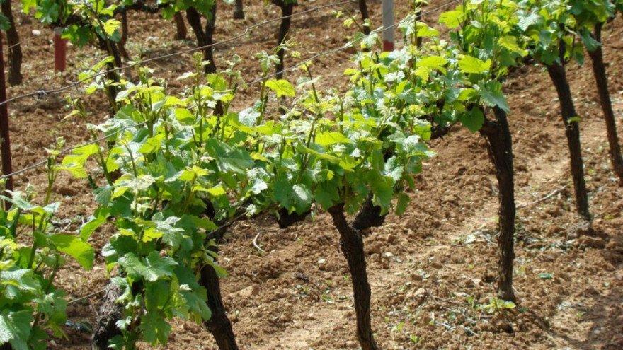 Općina Proložac sufinancira nabavku sadnog materijala vinove loze